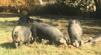 Le Porc Noir de Bigorre AOP